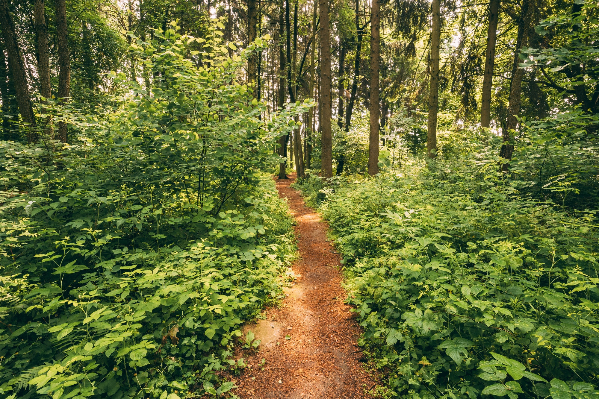 Beautiful Path Lane Walkway Way In Summer Forest. Healthy Walkin