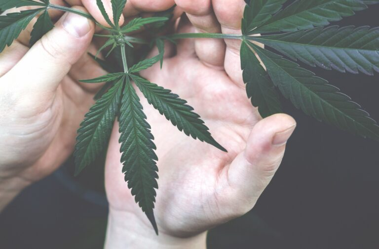 Inspecting a cannabis plant